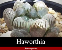 多肉植物 ハオルチア・オブツーサ